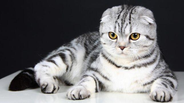 Шотланская веслаухая кошка
