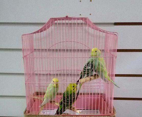 Чехи Выстовочные волнистые  попугаи