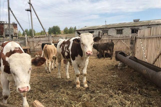 Продам КРС скот скатина акбас бузау коровы быки телята бычки телочки