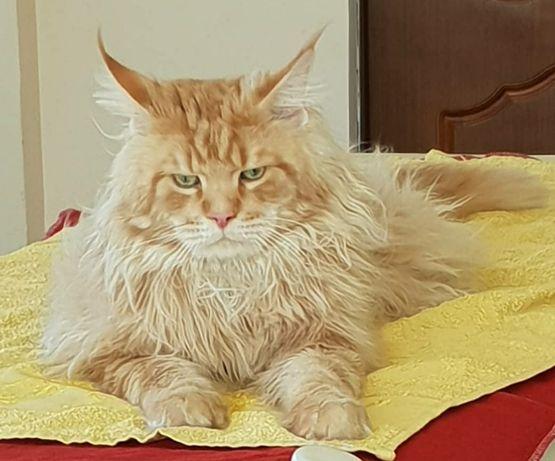 Вязка. Кот мейн-кун.