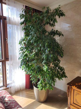 Продаётся домашнее дерево 2 м. 50 см.
