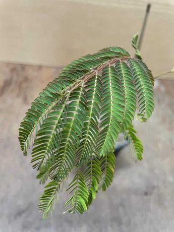 Arbore de decorativ - Arbore de matase ( Albitia )