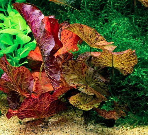 Нимфея тигровая красная (Nymphaea lotus «Red»)