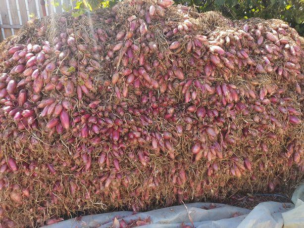 Ceapă roșie de Buzău