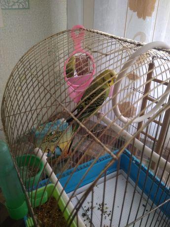 Продаётся волнистый попугай(самка)