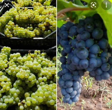 Vind struguri pentru vin aradul nou foarte aromatice pret 2.50/kg
