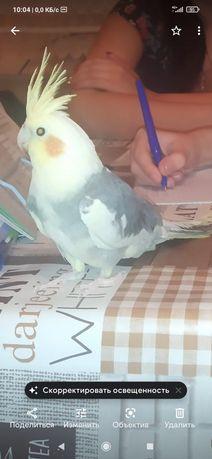 Попугай Карэлла.