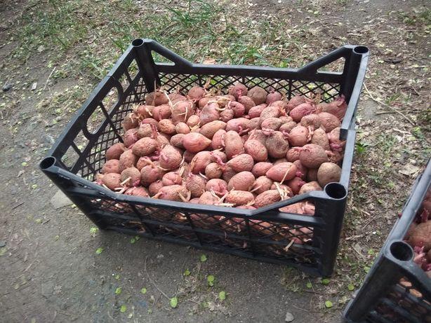 Продам семенной картофель, 2 ящика по 500тг