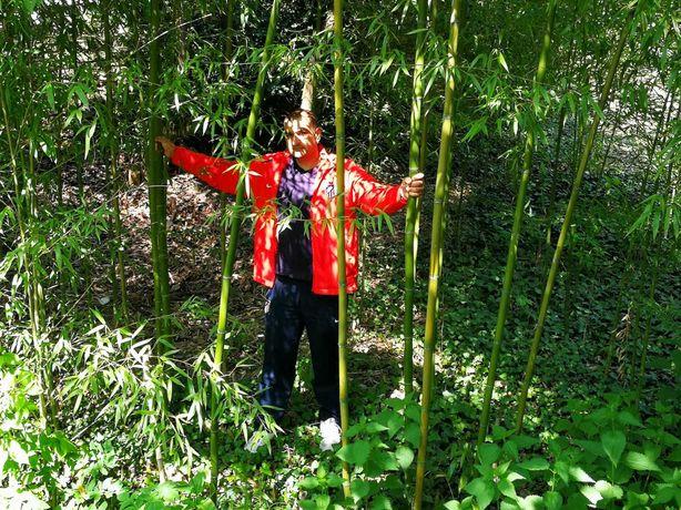 Bambus aclimatizat care ramane verde tot anul