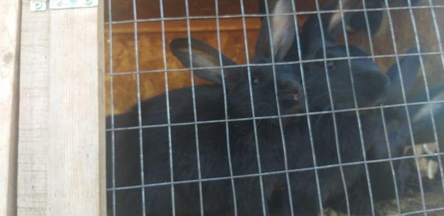 Продам кроликов черные красивые  желательно по скорей  не дорого