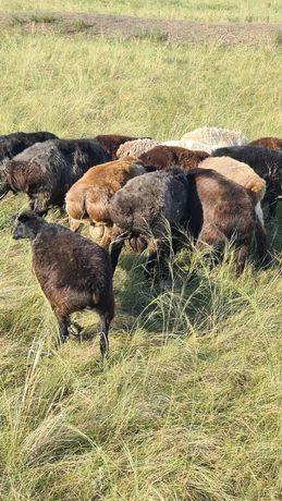 Продам баранов,на племя ,мясо
