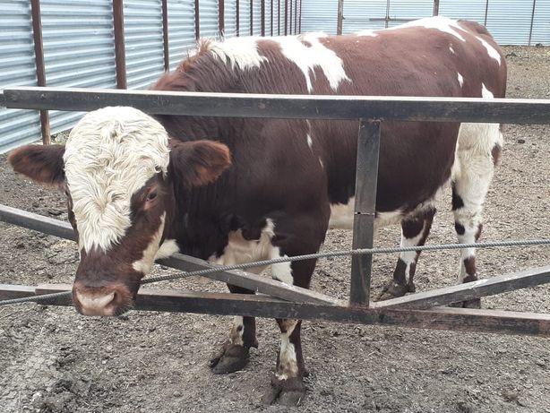 Упитанные быки на мясо
