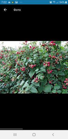 Саженцы малины бабье лето
