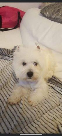 Pui mascul West Highland White Terrier (Westie)