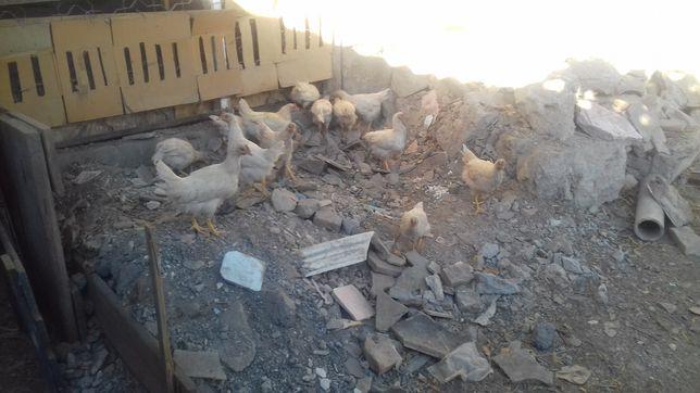 продам цыплята Яффа