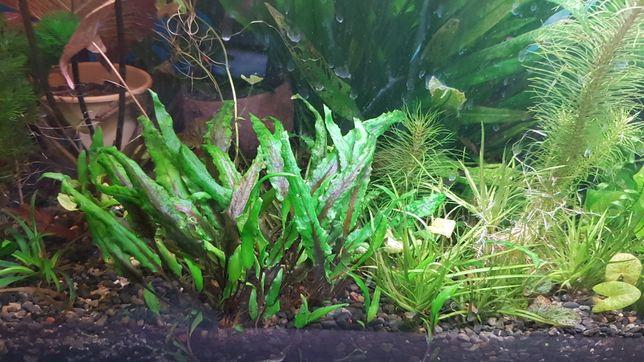 Продам аквариумное растение  криптокарина вендта зеленая