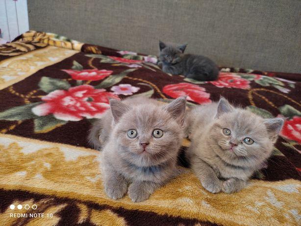 Продам чистокровных британских котят.