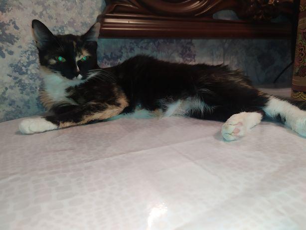 Кошка стерилизованная трехцветная