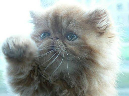Роскошный персиковый пушистый котенок