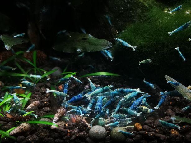Creveți acvariu Blue Bolt