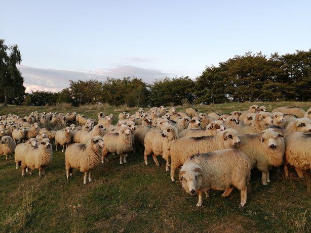 Vând 100 oi țurcane