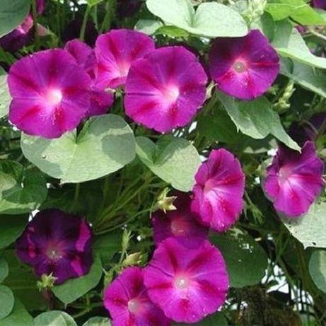 Seminte zorele mix - Ipomoea purpurea MIX