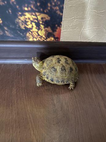 Продам черепаху 1 годик
