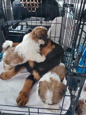 Продаются щенки Шит-цу