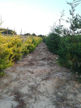 Tuia Leyland, Prunus si Photinia gard viu