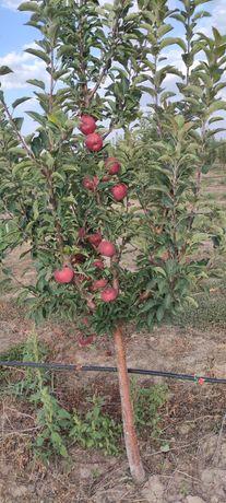 Яблоки. Яблони. Яблоки с сада. Молодой сад.