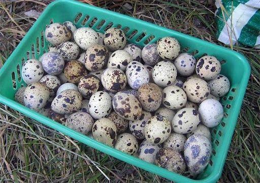 бодене жумырткасы перепелинный яйцо