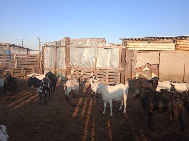 Продаются козы,козлы! Срочно!