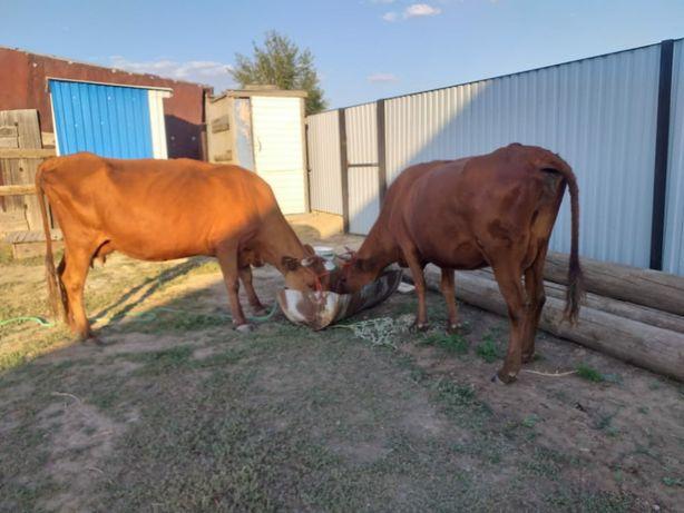 Дойные коровы. Сауынды сыйырлар. Корова сыйыр