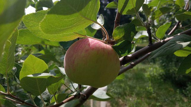 Продам яблоки домашние