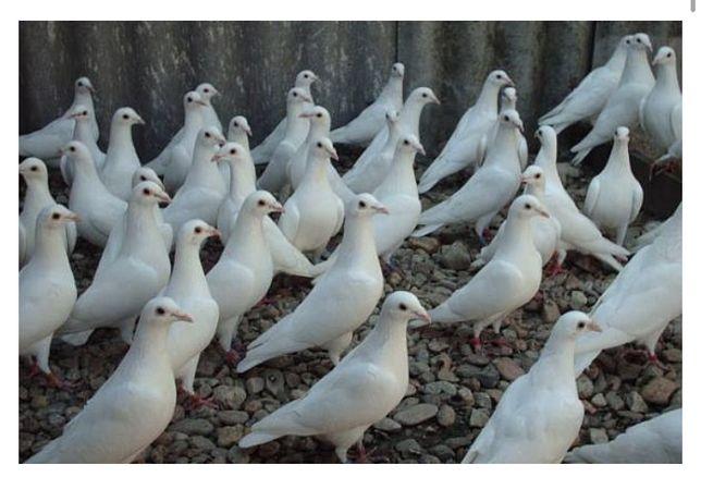 Porumbei voiajori albi