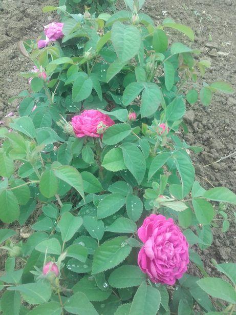 Trandafiri de dulceata