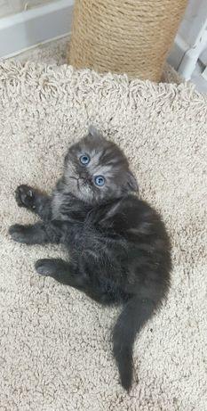 Продам шотландского Скоттиш Фолд котенка
