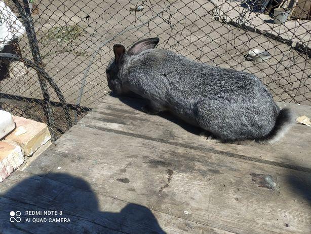 Продам крола 1 год