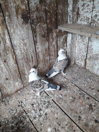 Porumbei satineți