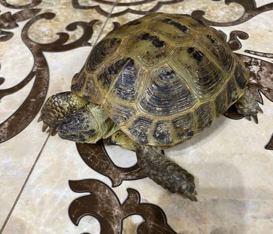 Продам сухопутную черепаху!