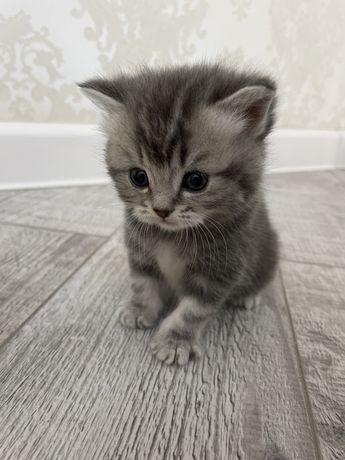 Шотландския котята