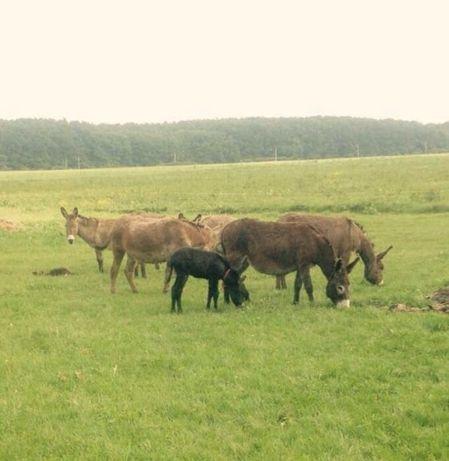 Vand magarițe,Mogosoaia-Ilfov