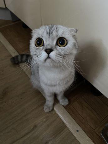 Продам кошку 1,5 года. Шотладская вислоухая.