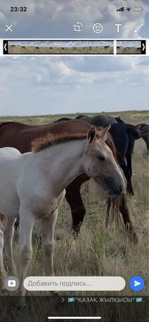 Продам лошадей Баянаулские жирные Соғым