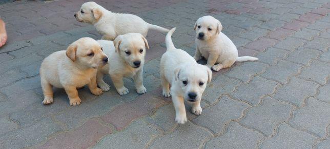 Cățelusii  Labradori