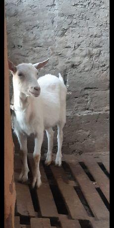 Продаются козы и куры