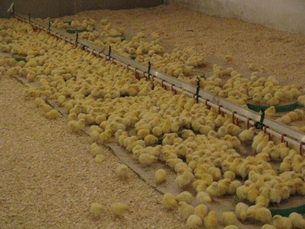 Суточные цыплята бройлеры 2 октября.
