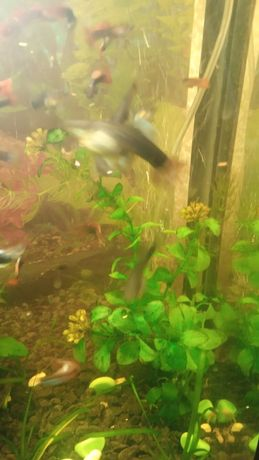 Продам зелень для аквариума