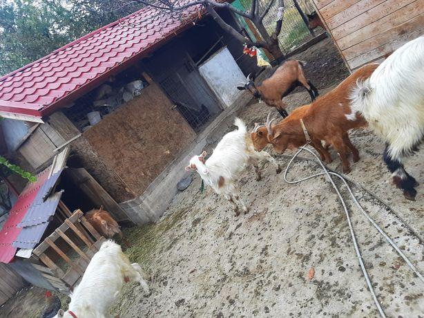 Vând 8 capre bune de lapte și un țap