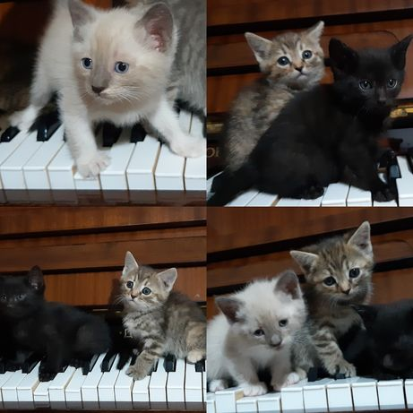 Котята от сиамской кошки и шотландского кота